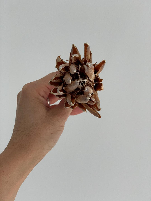Trockenblume Repens 2