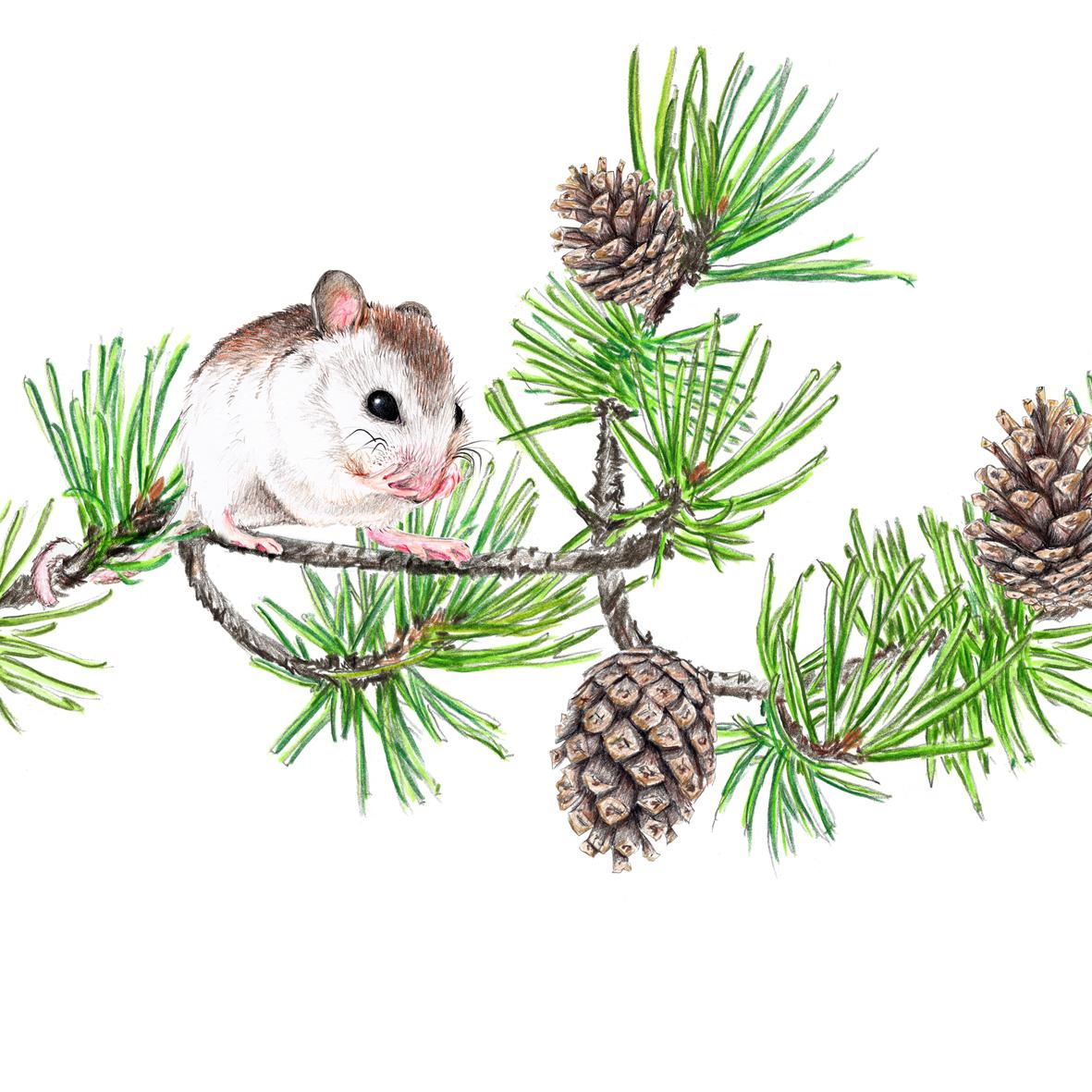 Zeichnung Maus auf Kiefernzweig, Kunstdruck, Poster, A4