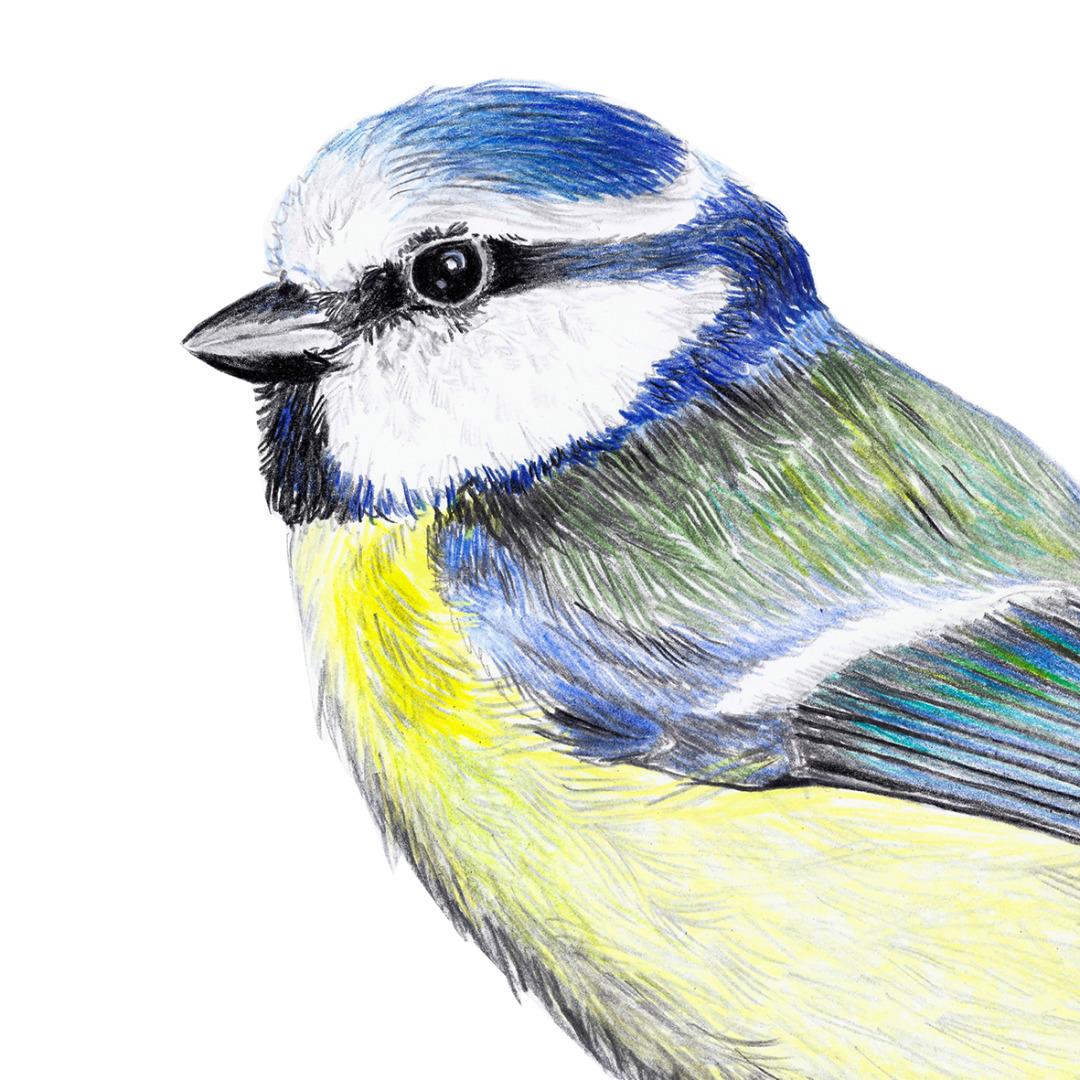 Blaumeise Zeichnung Poster Kunstdruck A4