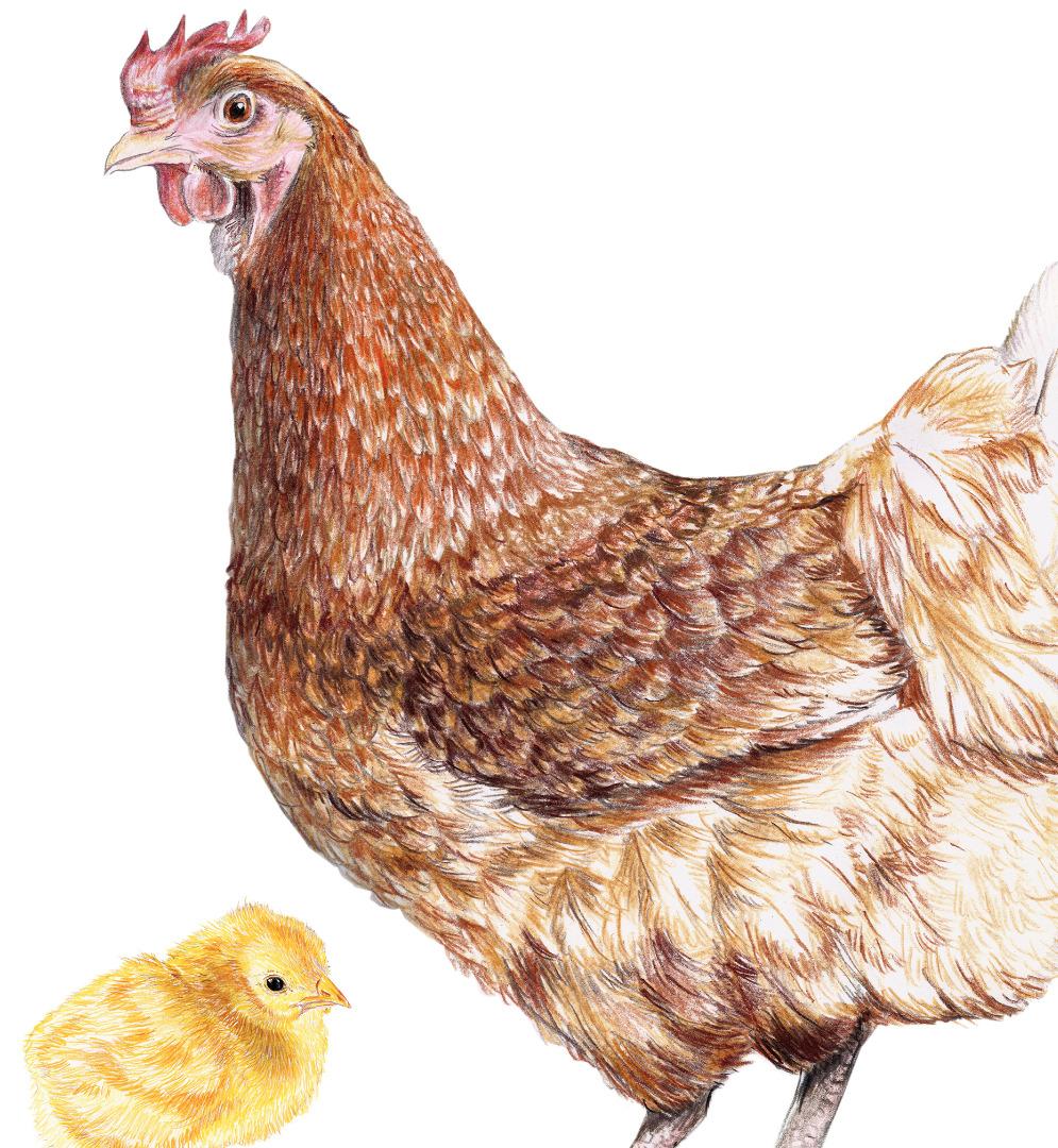 braunes Huhn mit Küken, Poster, Kunstdruck, Art Print Hühnezeichnung Huhn gezeichnet Tierbilder - 2