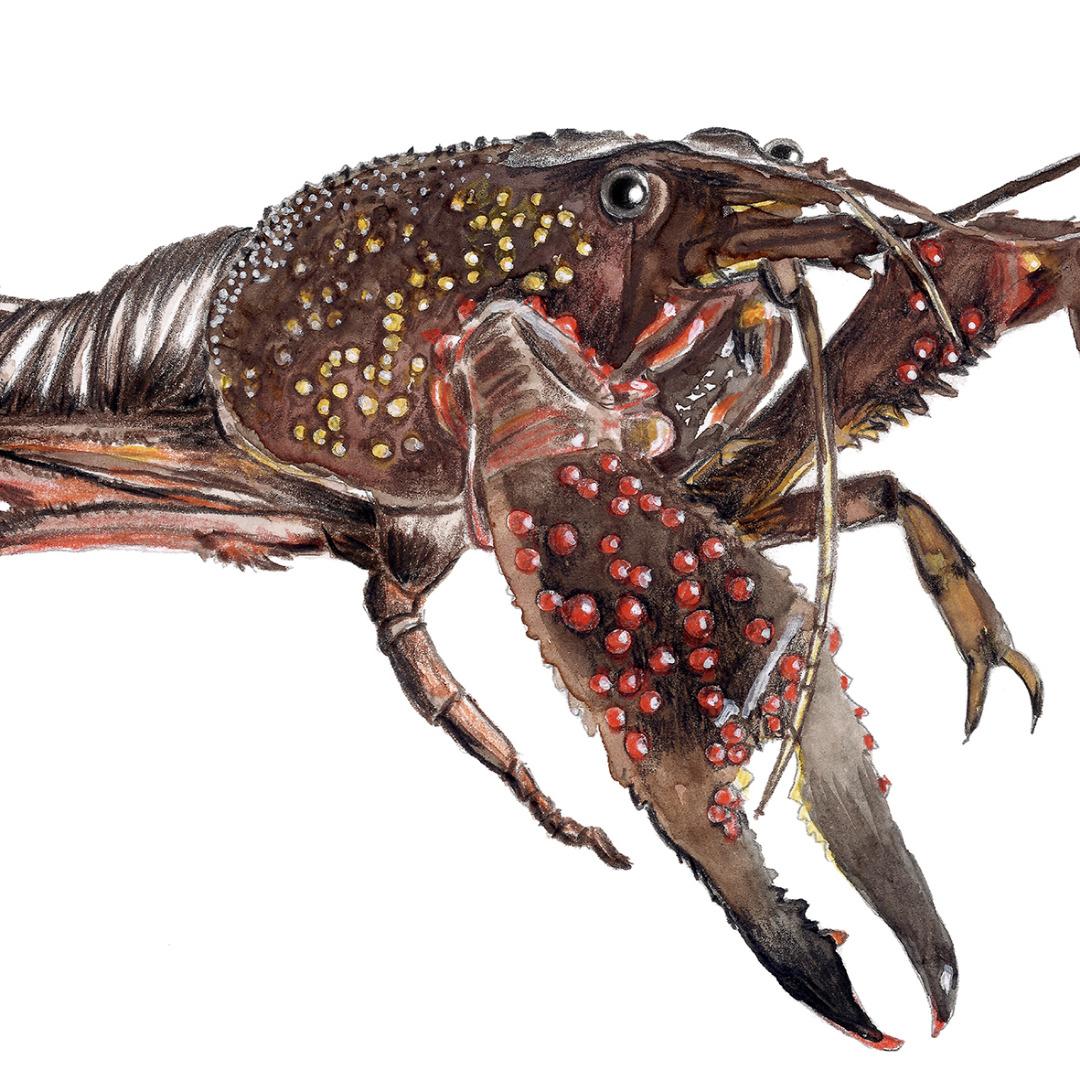 Hummer Poster Kunstdruck Zeichnung Meerestier 2