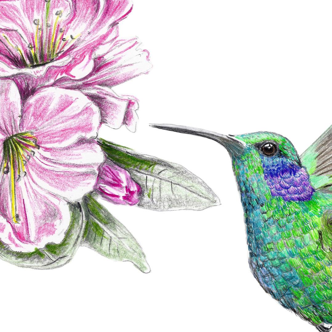 Zeichnung Kolibri Poster Kunstdruck Kolibrizeichnung 2