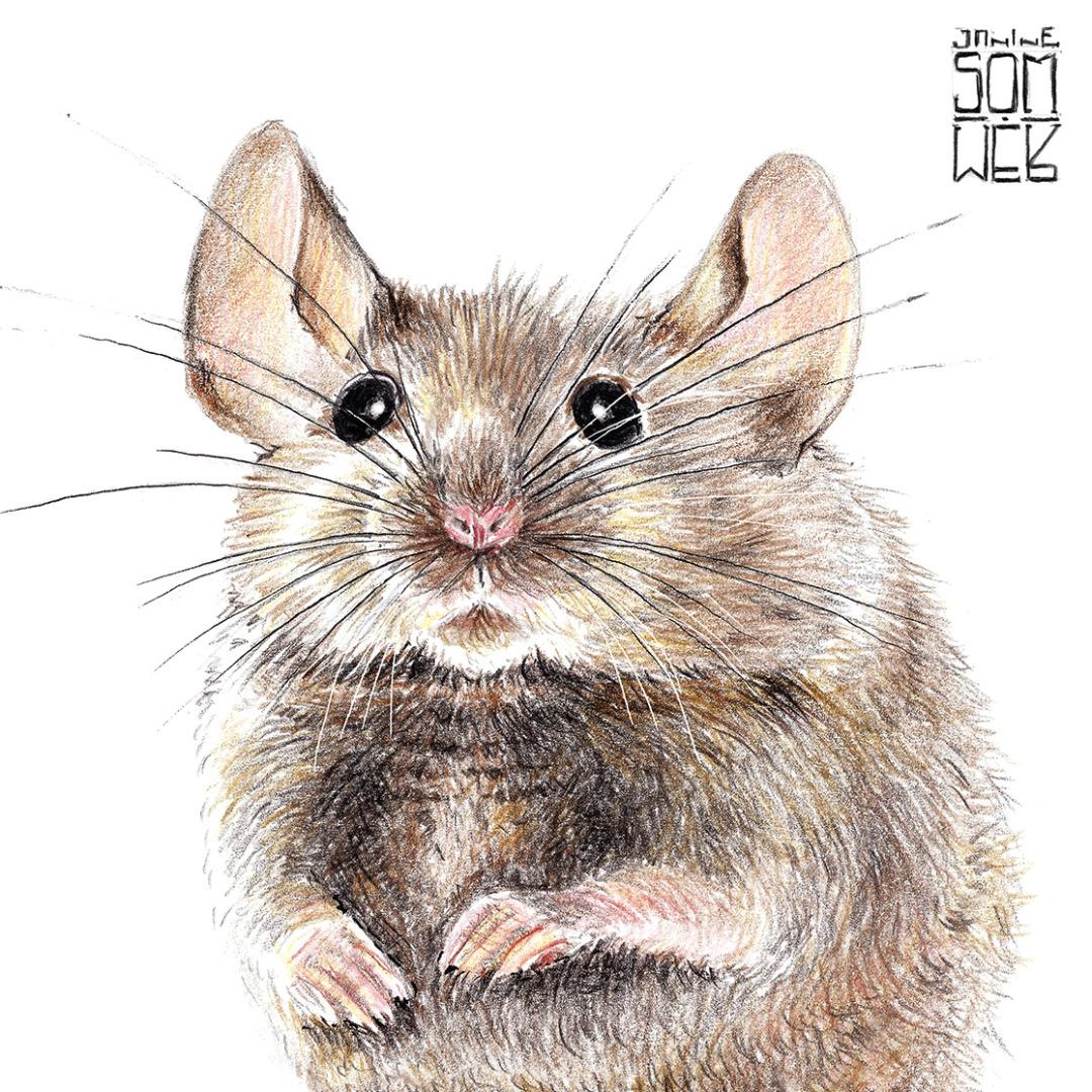 Hausmaus Poster Kunstdruck Zeichnung Maus 3