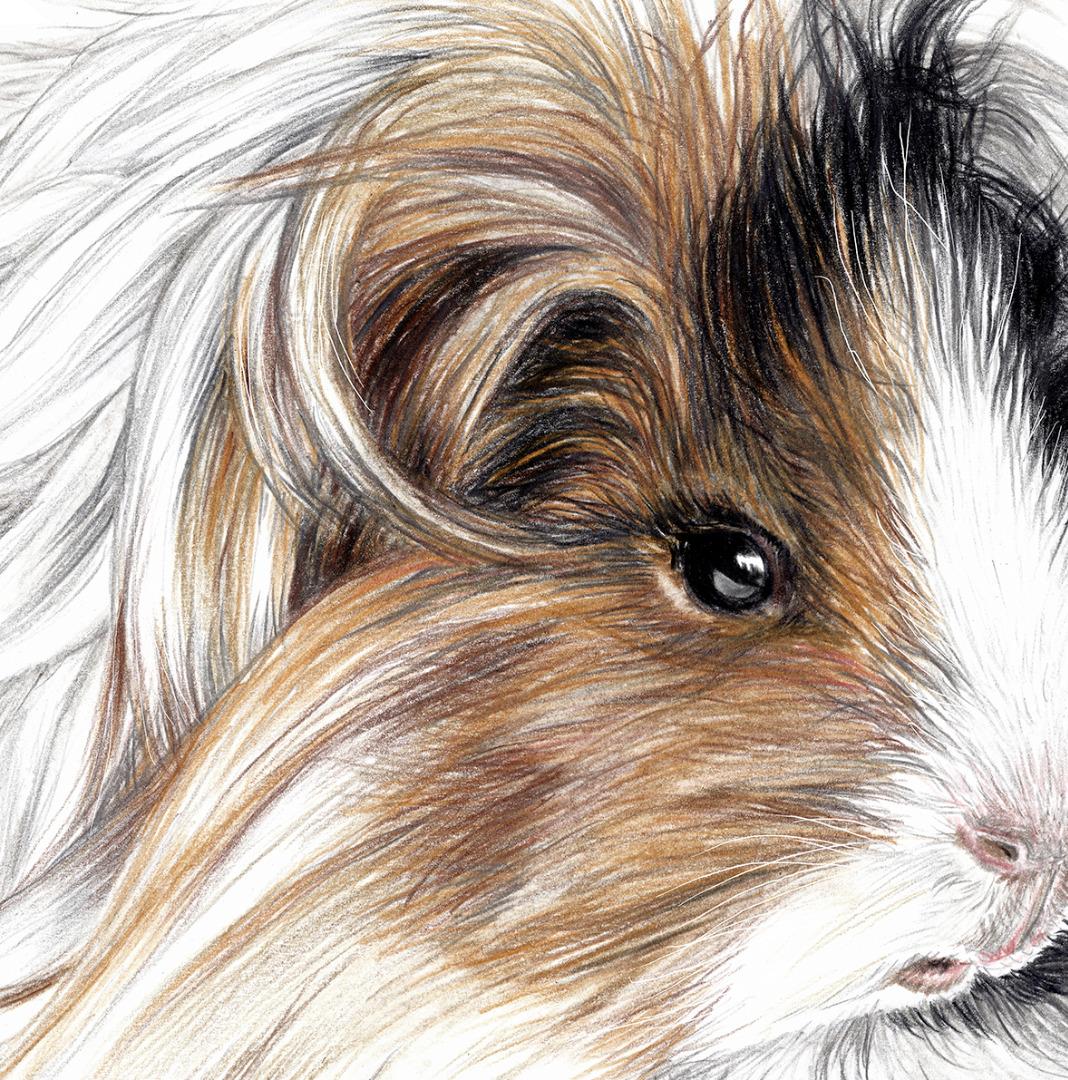 Meerschweinchen Poster Kunstdruck Zeichnung 3