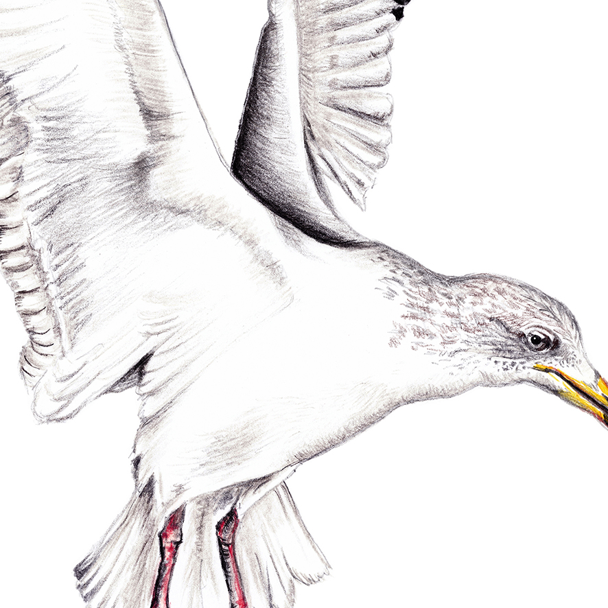 Möwe Zeichnung Poster Kunstdruck A4