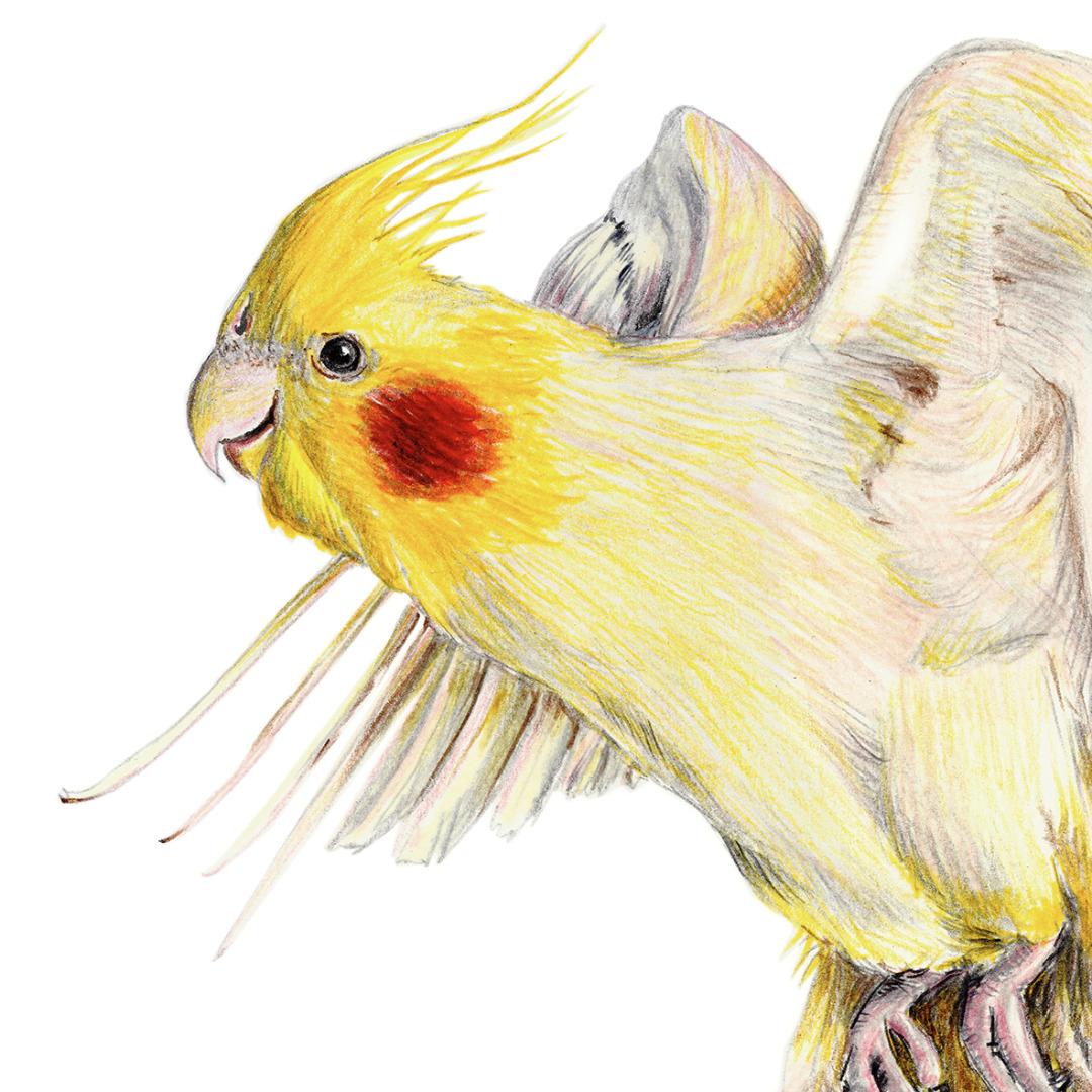 Nymphensittich, Zeichnung Poster Kunstdruck A4,