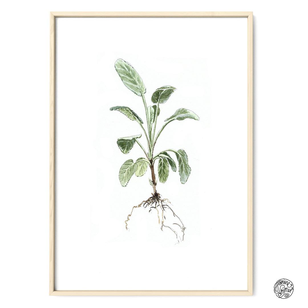 Salbei Poster Kunstdruck Pflanzen Zeichnung
