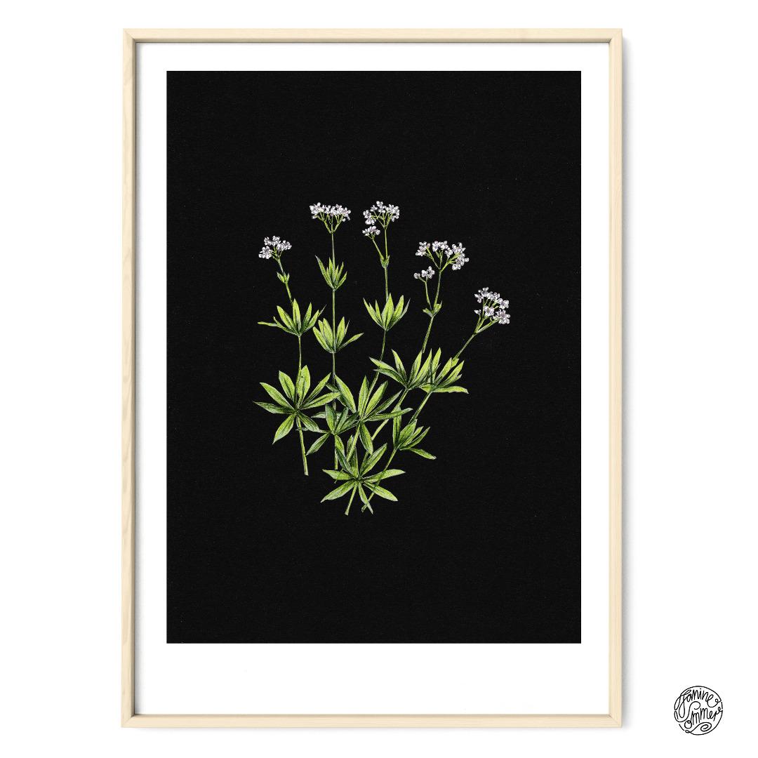 Waldmeister auf Schwarz Poster Kunstdruck Pflanzen