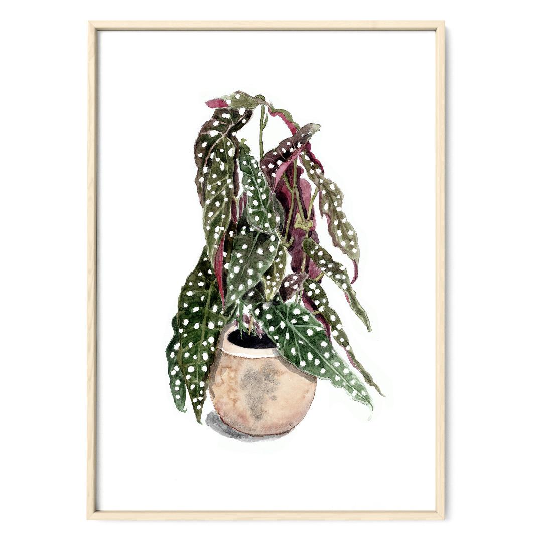 Forellenbegonie, Poster, Kunstdruck, Pflanzenposter, Pflanzenzeichnung, Pflanzen Aquarell - 1
