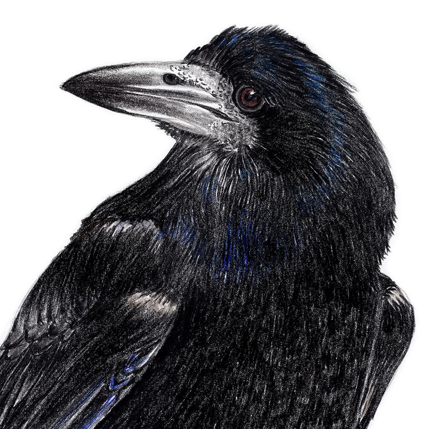 Krähenvogel Zeichnung Poster Kunstdruck A3 2