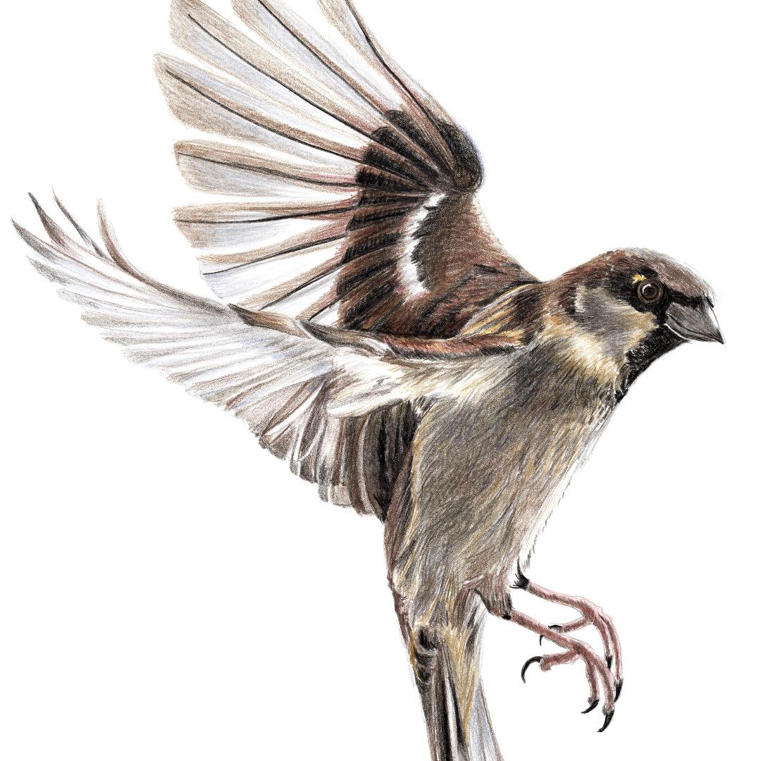 Sperling im Flug Zeichnung Poster Kunstdruck A4 Spatz