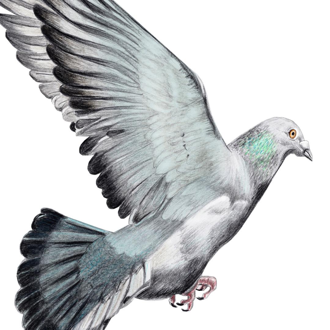 Taube Zeichnung Poster Kunstdruck A4 - 2