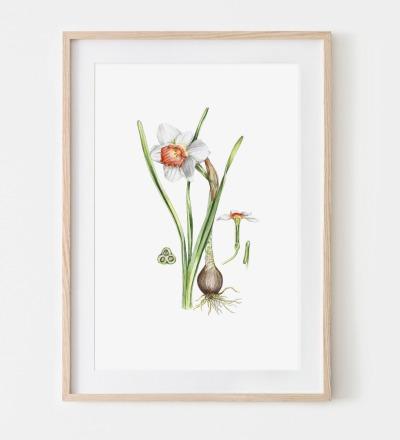Narzisse Poster Kunstdruck Pflanzen Zeichnung Aquarell-Buntstiftzeichnung