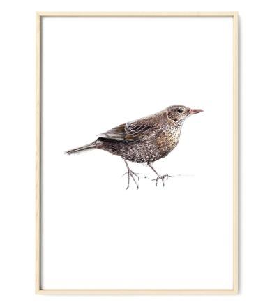 Amsel Poster Kunstdruck - Buntstiftzeichnung Reproduktion