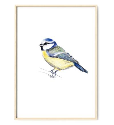 Blaumeise Poster Kunstdruck - Buntstiftzeichnung Reproduktion