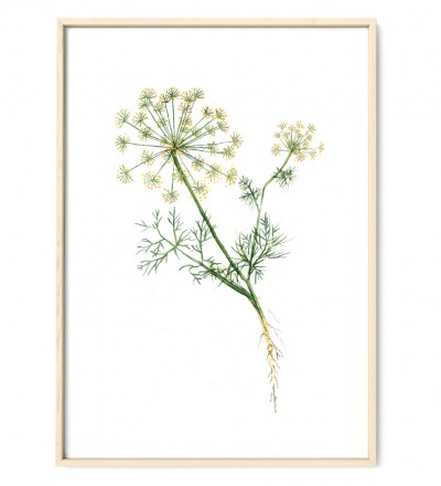 Dill Poster Kunstdruck Pflanzen Zeichnung Aquarell