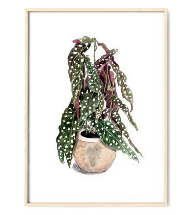 Forellenbegonie, Poster, Kunstdruck, Pflanzenposter, Pflanzenzeichnung, Pflanzen Aquarell - Pflanzen Aquarell