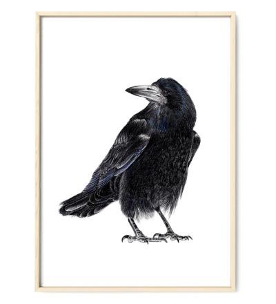 Krähenvogel Poster Kunstdruck - Buntstiftzeichnung Reproduktion