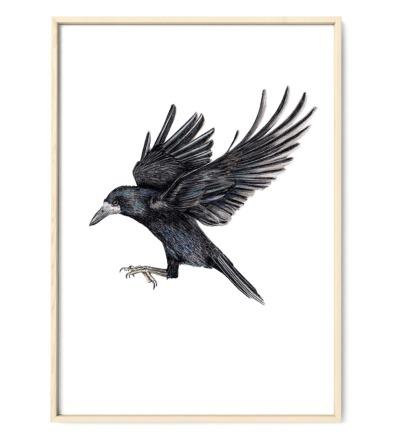 Saatkrähe im Flug Poster Kunstdruck Buntstiftzeichnung