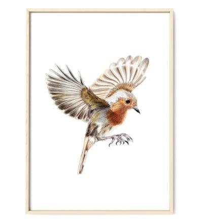 Rotkehlchen im Flug Poster Kunstdruck Buntstiftzeichnung