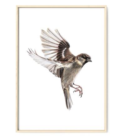Sperling im Flug Zeichnung Poster Kunstdruck