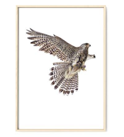 Turmfalke im Flug Poster Kunstdruck Buntstiftzeichnung