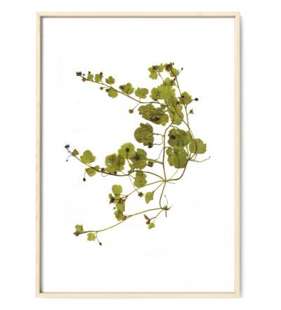 Veronica, Wiesenkräuter, Poster, Kunstdruck, Art Print - gepresste Pflanze aus meinem Garten