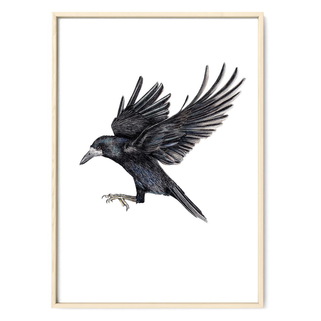 Saatkrähe im Flug Poster Kunstdruck Zeichnung