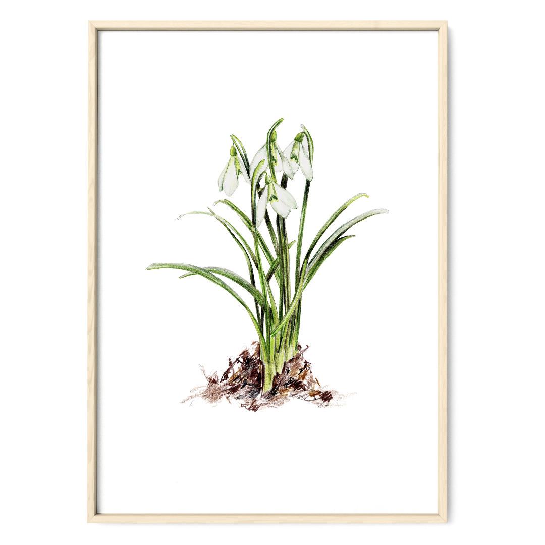 Schneeglöckchen Poster Kunstdruck Pflanzenposter Zeichnung