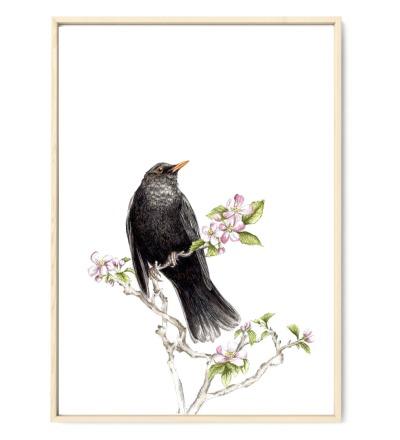 Amsel im Apfelbaum Poster Kunstruck Aquarell-Buntstiftzeichnung