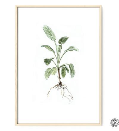 Salbei Poster Kunstdruck Zeichnung Aquarell Reproduktion