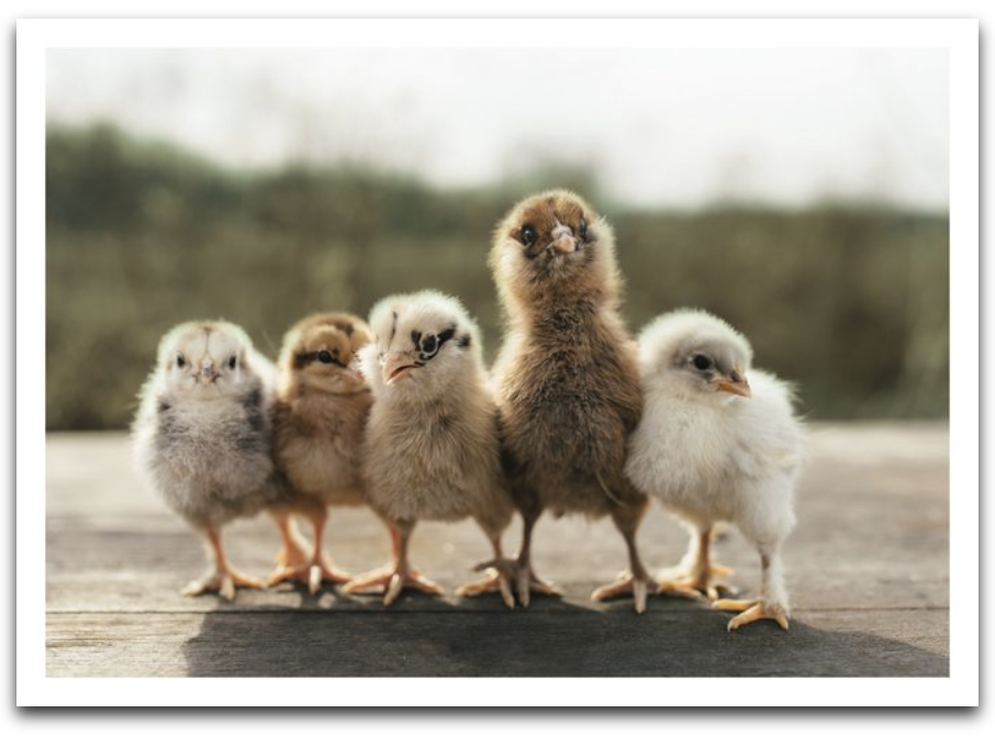 Five Chicks Card