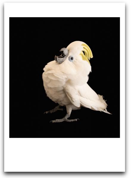 Blue Eyed Cockatoo Card