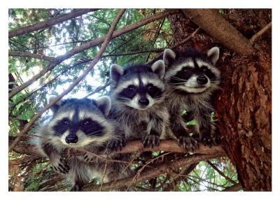 Three Raccoons Card - Palm Press