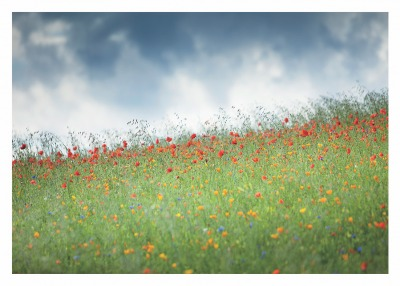 Field of Poppies Card Palm Press